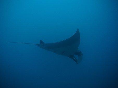 Manta, Rays, Manta Rays, Maldives, Thailand, Divers