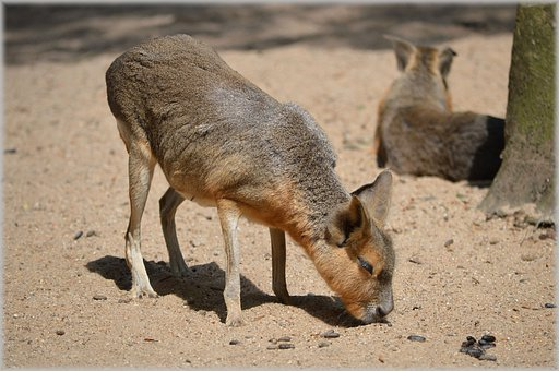 Mara, Maras, Shrub, Deserts, Grasslands, Rodent