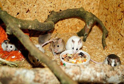 Mastomys, Mice, Rodents, Pets, Savannah, Cute, Society