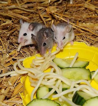 Mice, Mastomys, Rodents, Close, Young Animals, Furry