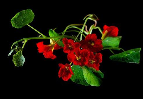 Flower, Nasturtium, Cress, Blossom, Bloom, Plant, Macro