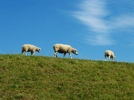 Sheep, Lambs, Netherlands, Livestock, Agriculture