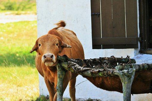 Bovine, Itch, Farm Animal, Animal, Farm, Red, Brown
