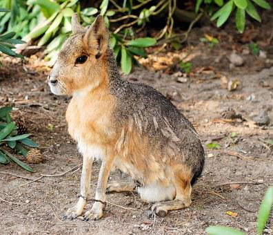 Pampashase, Hare, Rodents, Mara, Dolichotinae, Cute