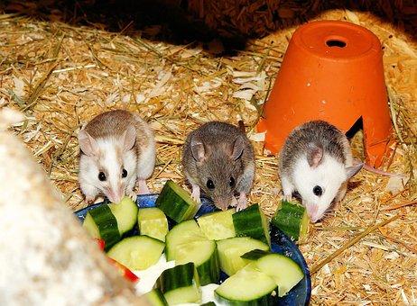 Mastomys, Mice, Rodents, Society, Cute