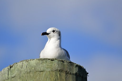 Seagull, Bird, Avian, Wildlife, Waterbird, Animal, Gull
