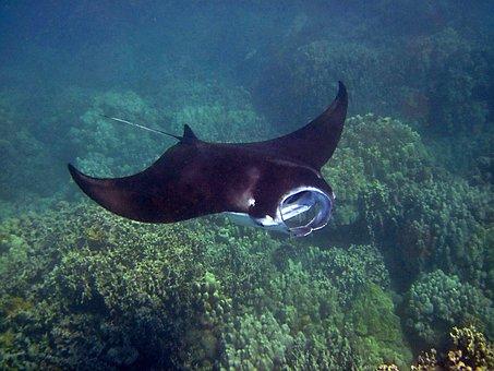 Manta Ray, Manta, Hawaii, Ray, Underwater, Tropical