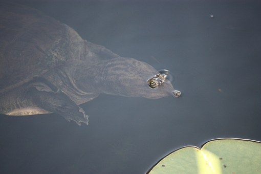 Softshell Turtle, Turtle, Breaching, Eyes, Reptile