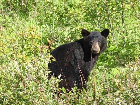 Black, Bear, Northern Ontario, Animal, Wildlife, Nature