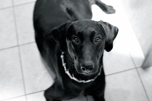 Dog, Puppy, Black, Lab, Animal, Pet, Canine, Cute