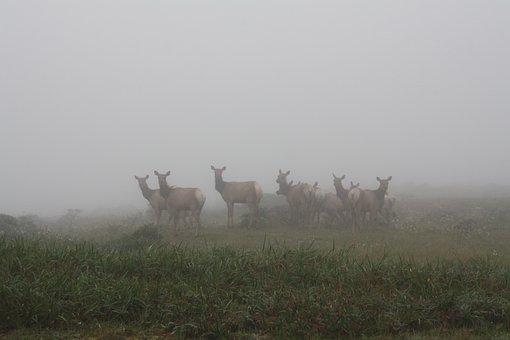 Deer, Point Reyes, Seashore, Nature, Coast, Fog, Herd