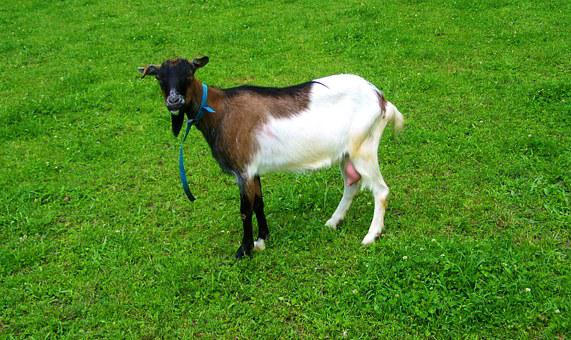 Brown And White Goat, Farm Animals, Domestic Animal
