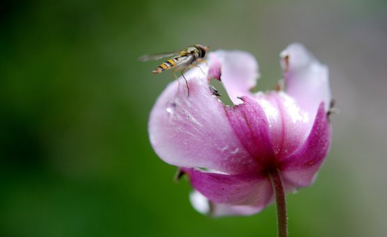 Hover Fly, Flower Fly, Syrphid Fly, Syrphus Fly, Animal