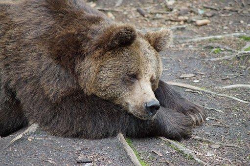 Bear, Braubbaer, Grizzly, Animals, Animal, Rest