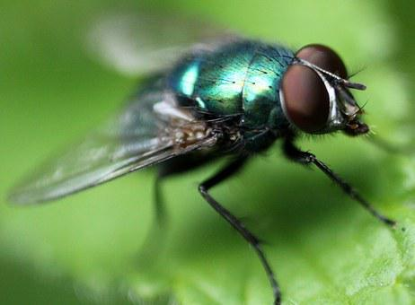 Insect, Fly, Nature, Macrophoto