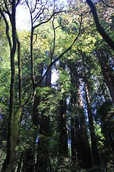 Muir, Wood, Trees, Forest, Park, Nature, California