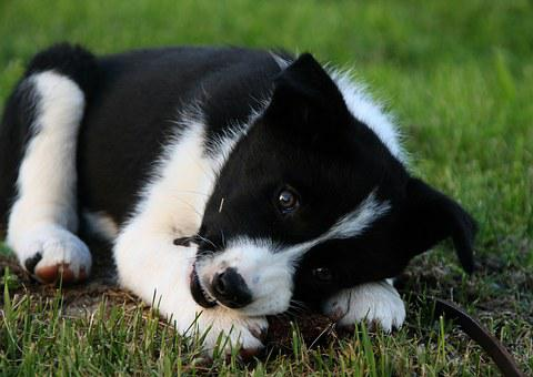 Animals, Dog, Pets, Black And White, Puppy