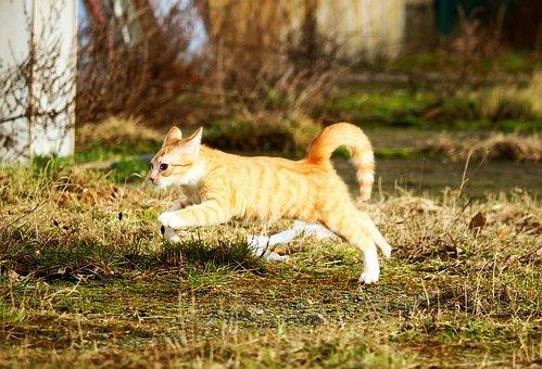 Cat, Kitten, Red Mackerel Tabby, Jump, Meadow, Play
