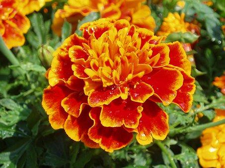 Flower, Marigold, Orange, Red, Summer, Flowerbed