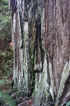 Muir Woods, Forest, Tree, Bark, Trunk, Park, Muir