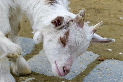 Girgentana Goat, Animal, Goat, Livestock, Young, White