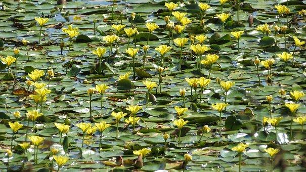 Lake Jug, Nymphaea, Yellow, Pond