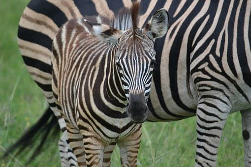 Zebra, Foal, Africa, Wildlife, Mammal, Wild, Young