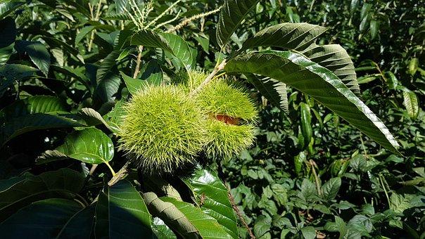 Night, Autumn, Harvest, Fruit, Night Song, Chestnut