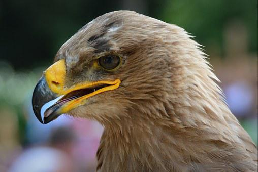 Eagle, Bird, Bird Of Prey, Babu, Beak