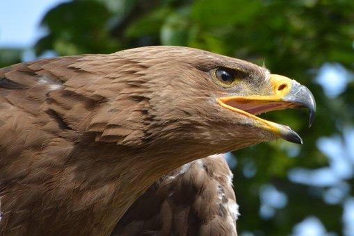 Eagle, Bird, Bird Of Prey, Beak, Babu