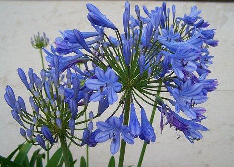 Esőcseppes Clivia, Blue Flower, Flower Garden
