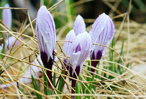 Crocus, Spring, Flowers, Nature, Plant, Purple, Garden