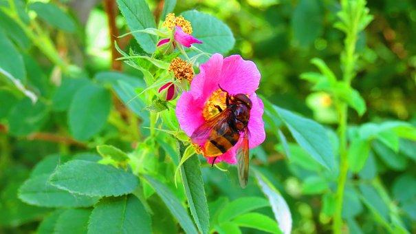 Bee, Babu, Flower, Erzurum, Pasinler