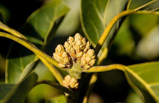 Avocado, Buds, Flowers, Tree, Fruit, Blossom, Leaves