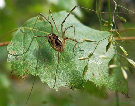 Opiliones, Arachnids, Harvestmen, Spider, Insect, Bug