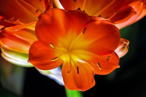 Clivia Miniata, Klívia, Flower, Light