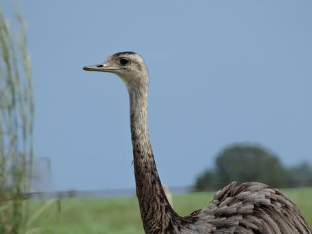 Ema, Birds, Animal, Nature, Animals
