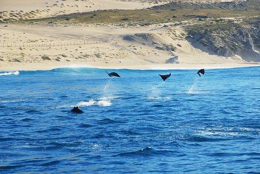 Stingray, Los Cabos, Mexico, Ocean, Water