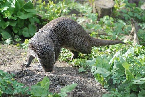 Otter, Wet, Animal, Mammal, Fur, Water, Cute, Outdoor