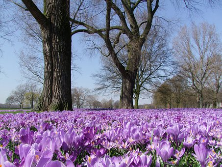Crocus, Spring, Park, Düsseldorf, Flowers