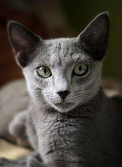 Cat, Russian Blue Cat, Blue, Russian, Pet, Animal