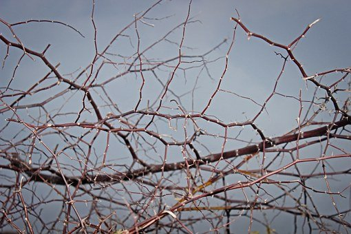 Thorn, Texture, Nature, Plant, Spikes