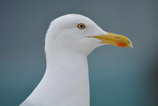 Seagull, Animal, Bird, Beak, Babu