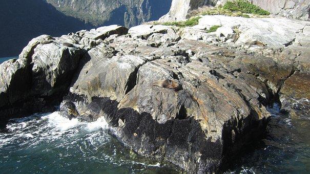 Milford Sound, Seal, Rocks, Walrus, Fur Seal, Seals