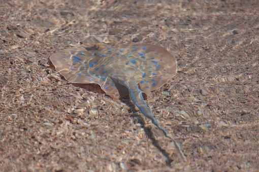 Bluespotted Ribbontail Ray, Taeniura Lymma, Stingray