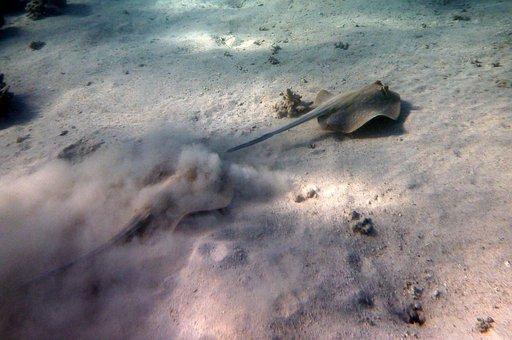 Rays, Escape, Taeniura Lymma, Egypt, Water, Underwater