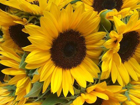 Sun Flower, Flower, Yellow, Nature, Summer, Blossom