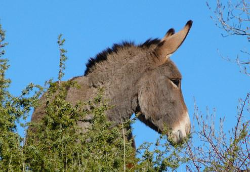 Donkey, Animal, Equine, Head, Mammal, Robust, Long Ears