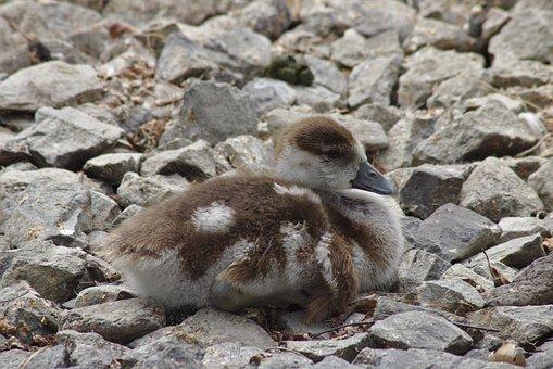 Goose, Chicks, Goslings, Bird, Animal, Creature, Stones