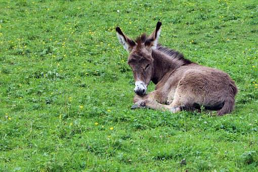 Donkey, Donkey Foal, Foal, Baby, Animal, Animal World